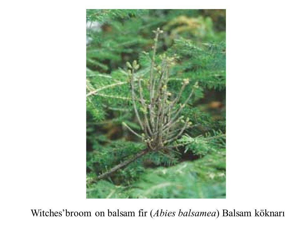 Witches'broom on balsam fir (Abies balsamea) Balsam köknarı