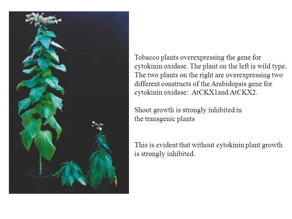 Tobacco plants overexpressing the gene for cytokinin oxidase. The plant on the left is wild type. The two plants on the right are overexpressing two d