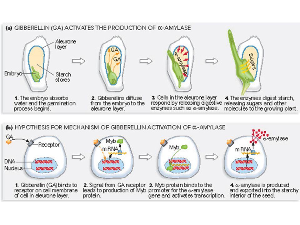 Figure 21.7 Phenotypes of Arabidopsis plants harboring mutations in the cytokinin receptors