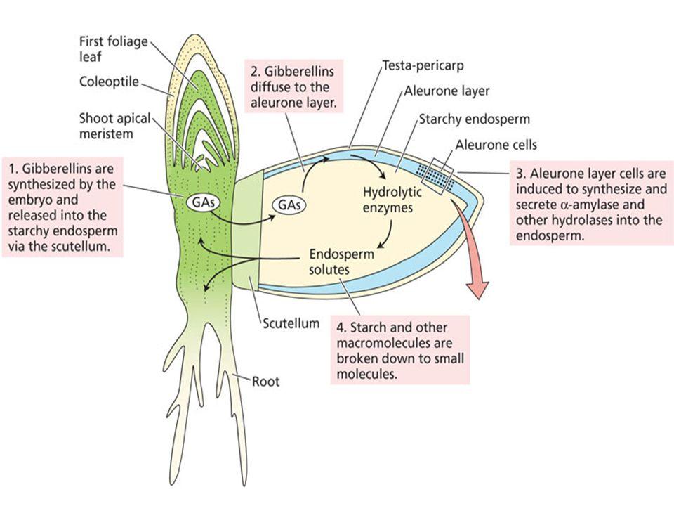 Sitokininin çok sayıda farklı formu bulunmaktadır