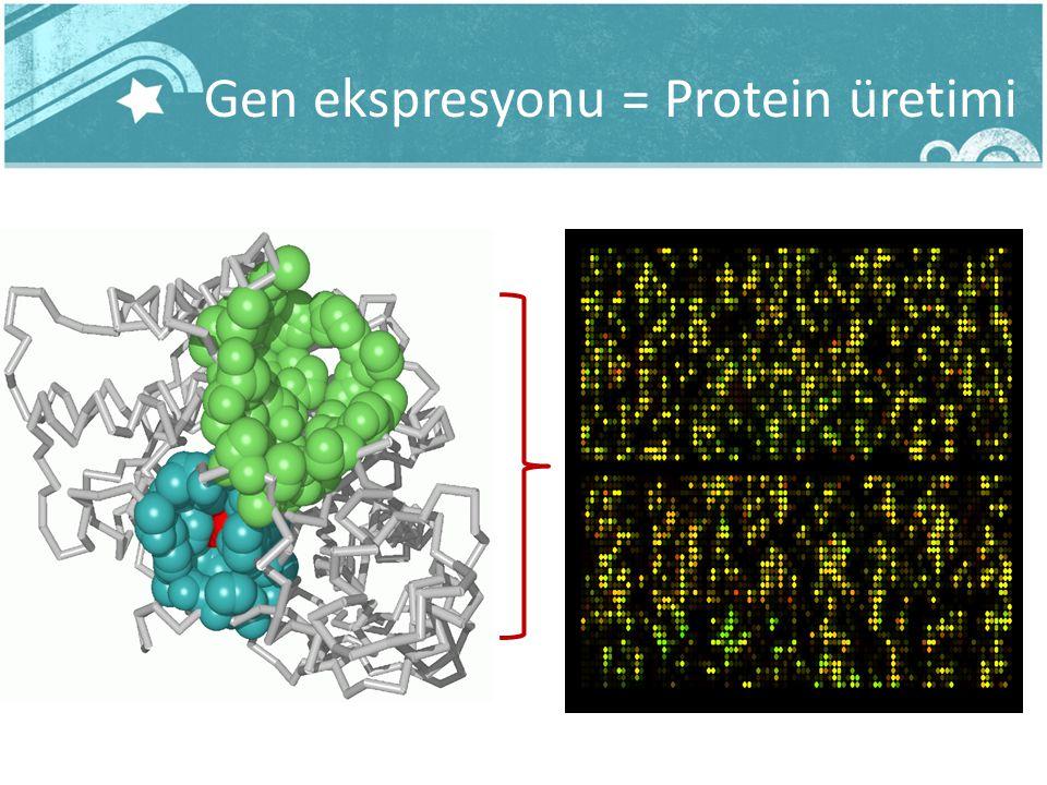 Gen ekspresyonu = Protein üretimi DNA