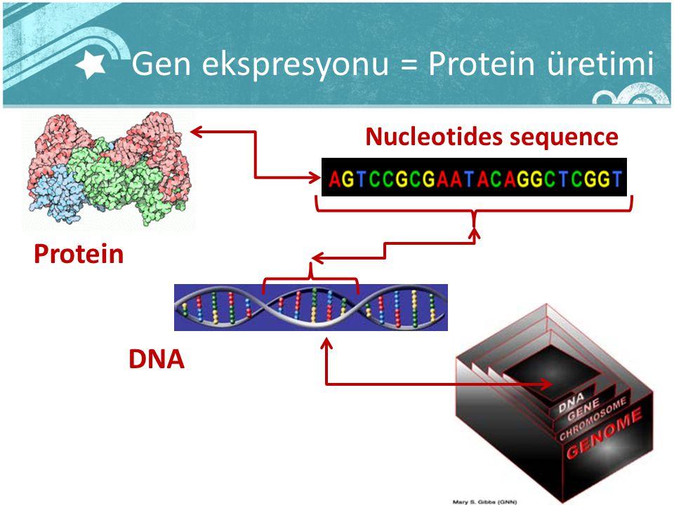 Gen ekspresyonu = Protein üretimi DNA Protein Nucleotides sequence