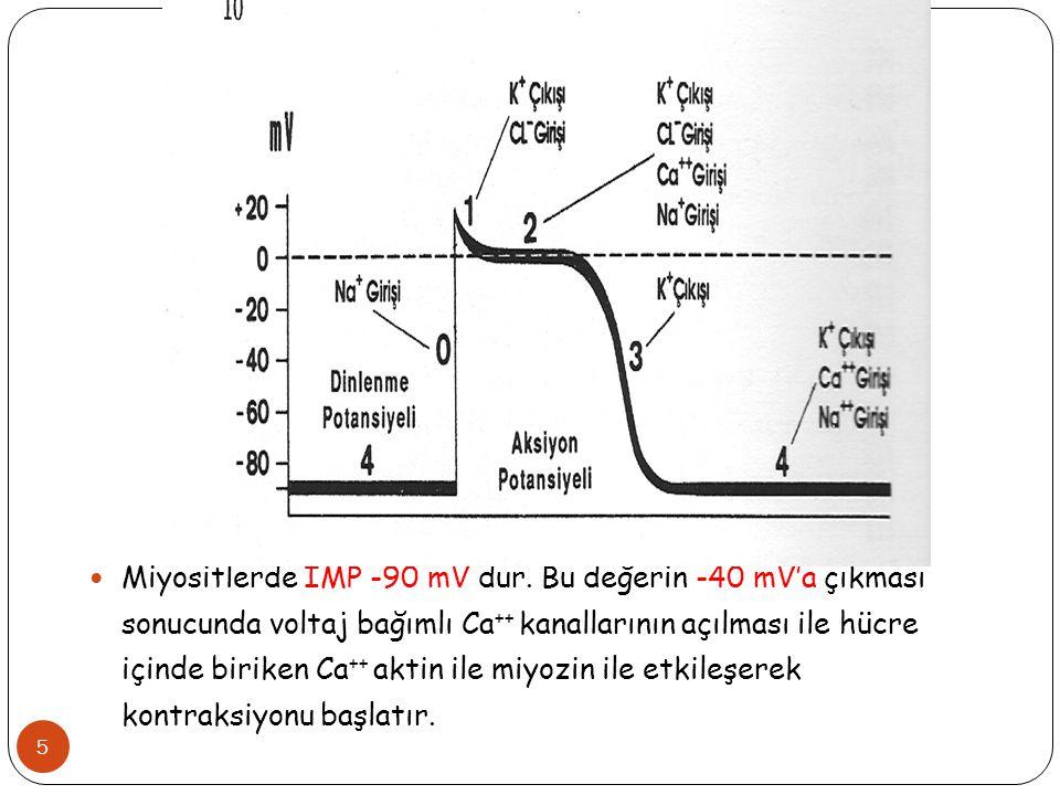 Miyositlerde İMP -90 mV dur. Bu değerin -40 mV'a çıkması sonucunda voltaj bağımlı Ca ++ kanallarının açılması ile hücre içinde biriken Ca ++ aktin ile