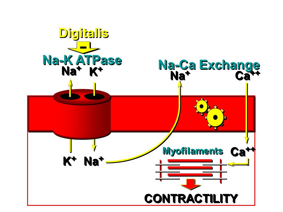 Na + K+K+ K+K+ K+K+ K+K+ Ca ++ Na-K ATPase Na-Ca Exchange Myofilaments Digitalis CONTRACTILITY -
