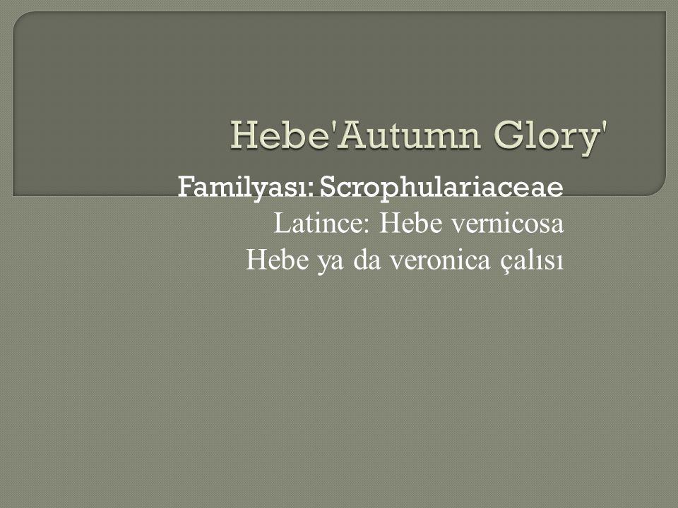 Familyası: Scrophulariaceae Latince: Hebe vernicosa Hebe ya da veronica çalısı
