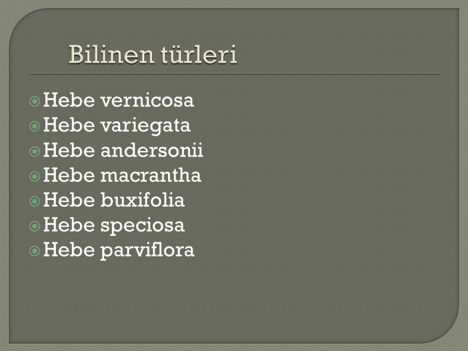  Hebe vernicosa  Hebe variegata  Hebe andersonii  Hebe macrantha  Hebe buxifolia  Hebe speciosa  Hebe parviflora
