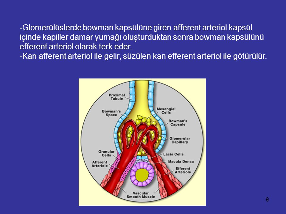 -Glomerülüslerde bowman kapsülüne giren afferent arteriol kapsül içinde kapiller damar yumağı oluşturduktan sonra bowman kapsülünü efferent arteriol o