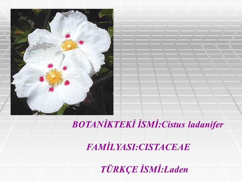 BOTANİKTEKİ İSMİ:Cistus ladanifer FAMİLYASI:CISTACEAE TÜRKÇE İSMİ:Laden