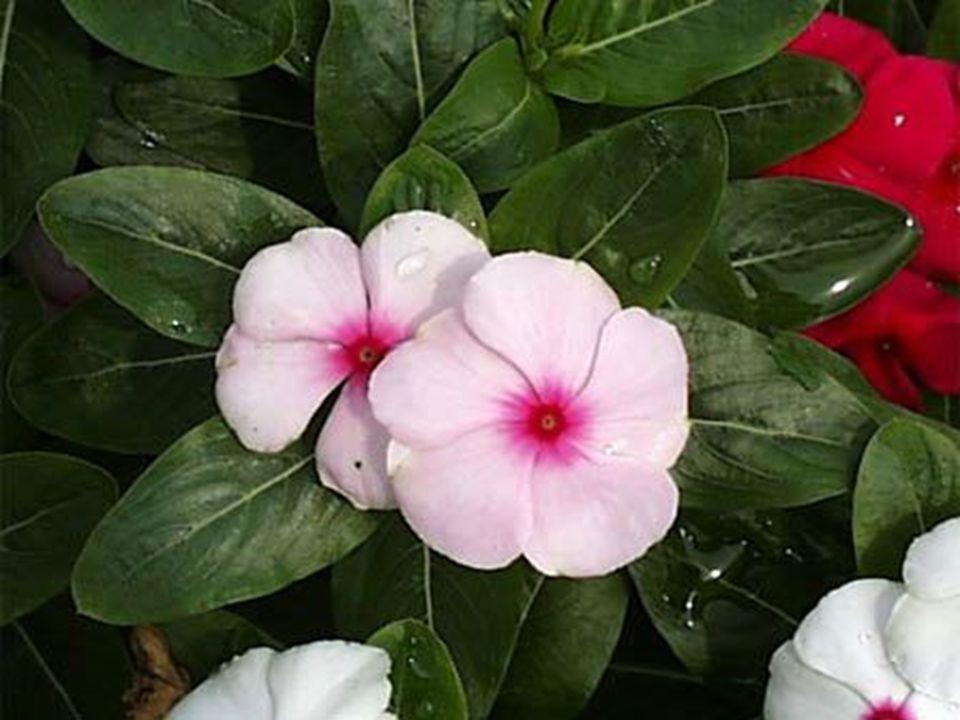 Her dem yeşil, çok yıllık bitkilerdir.Gövdeleri 50 cm kadar boylanabilirler.