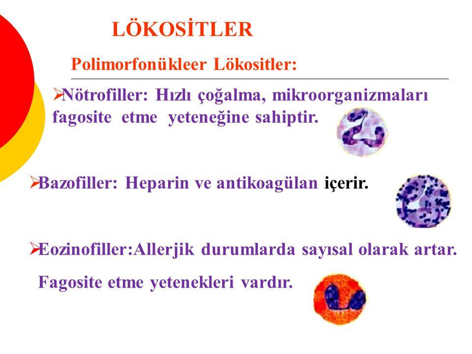 LÖKOSİTLER Polimorfonükleer Lökositler:  Nötrofiller: Hızlı çoğalma, mikroorganizmaları fagosite etme yeteneğine sahiptir.