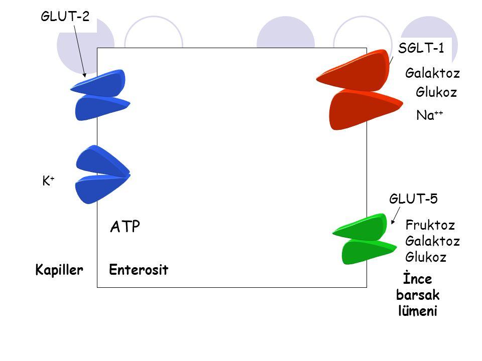 ADP Na ++ Glukoz Na ++ Galaktoz K+K+ Fruktoz Galaktoz Glukoz GLUT-5 SGLT-1 GLUT-2 Enterosit İnce barsak lümeni Kapiller ATP