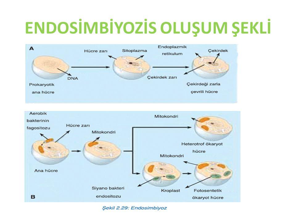 KOLONİLER  Koloni:Aynı yapıdaki tek hücreli organizmaların biraraya gelerek oluşturdukları topluluğa Koloni denir.
