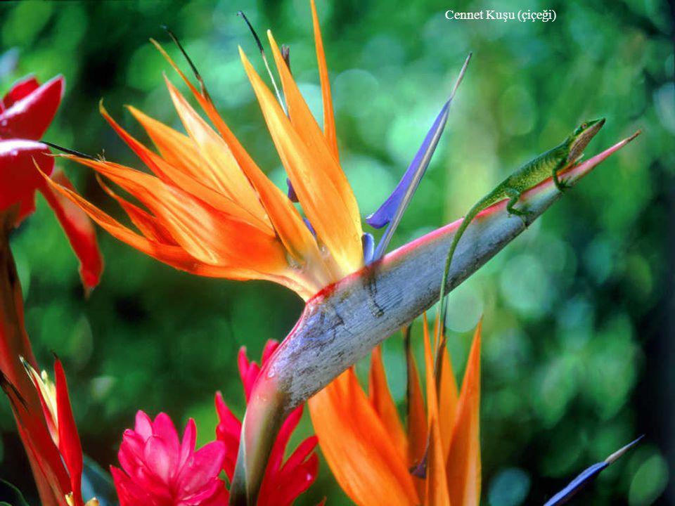 Cennet Kuşu (çiçeği)