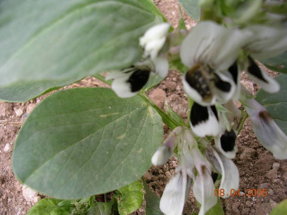 Tanımı  Erginleri yaklaşık 10 mm boyunda, siyah mat renkli, vücutlarını üzeri sık ve oldukça uzun sarı tüylerle kaplıdır.