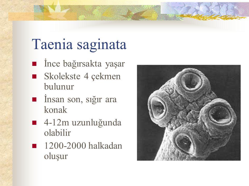 Taenia saginata İnce bağırsakta yaşar Skolekste 4 çekmen bulunur İnsan son, sığır ara konak 4-12m uzunluğunda olabilir 1200-2000 halkadan oluşur