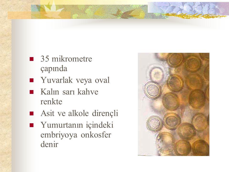 35 mikrometre çapında Yuvarlak veya oval Kalın sarı kahve renkte Asit ve alkole dirençli Yumurtanın içindeki embriyoya onkosfer denir