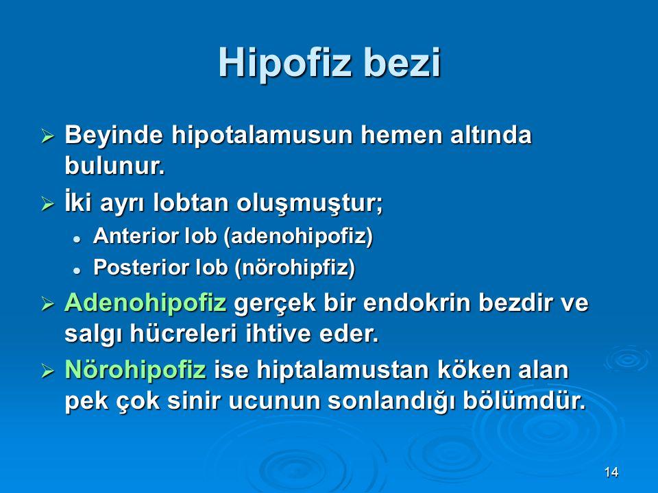 Hipofiz bezi  Beyinde hipotalamusun hemen altında bulunur.  İki ayrı lobtan oluşmuştur; Anterior lob (adenohipofiz) Anterior lob (adenohipofiz) Post