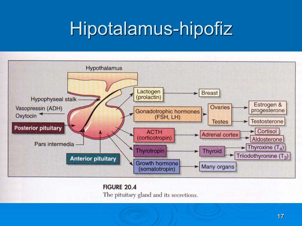 Hipotalamus-hipofiz 17