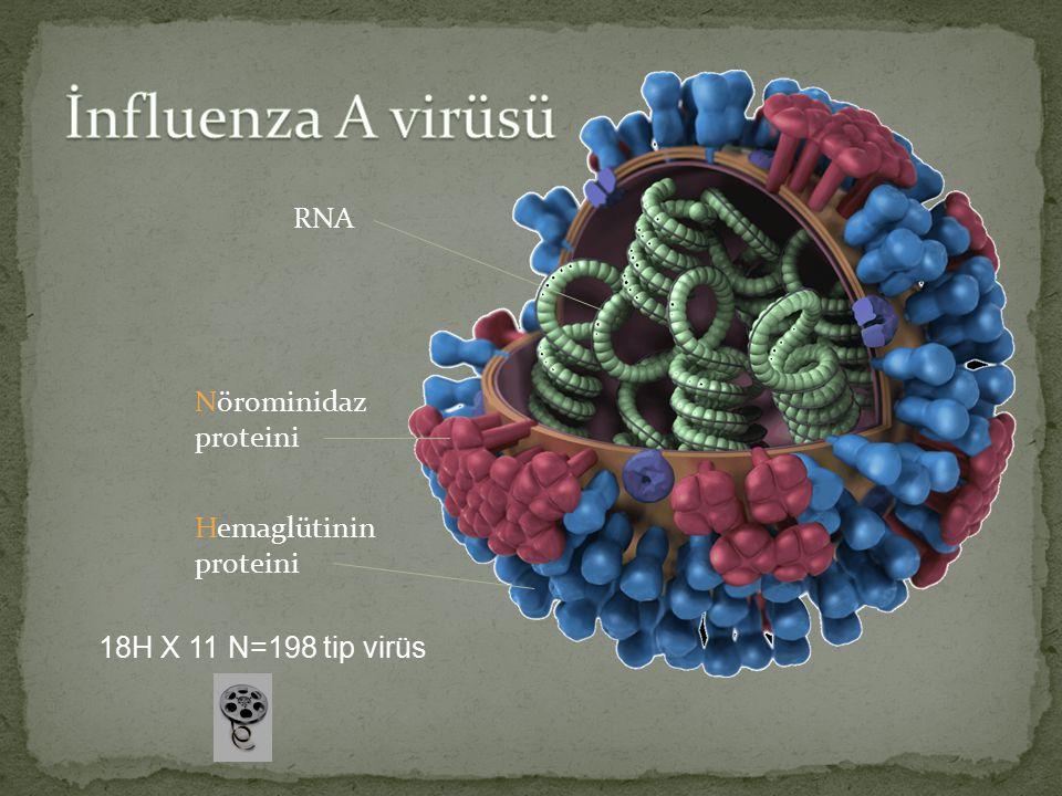 Nörominidaz proteini Hemaglütinin proteini RNA 18H X 11 N=198 tip virüs