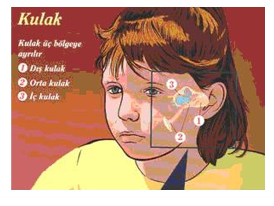 a.Dış Kulak: Kulağın dış kısmı kulak kepçesi, kulak yolu ve kulak zarından oluşur.