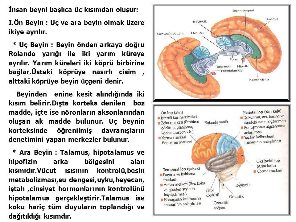 İnsan beyni başlıca üç kısımdan oluşur: I.Ön Beyin : Uç ve ara beyin olmak üzere ikiye ayrılır. * Uç Beyin : Beyin önden arkaya doğru Rolando yarığı i
