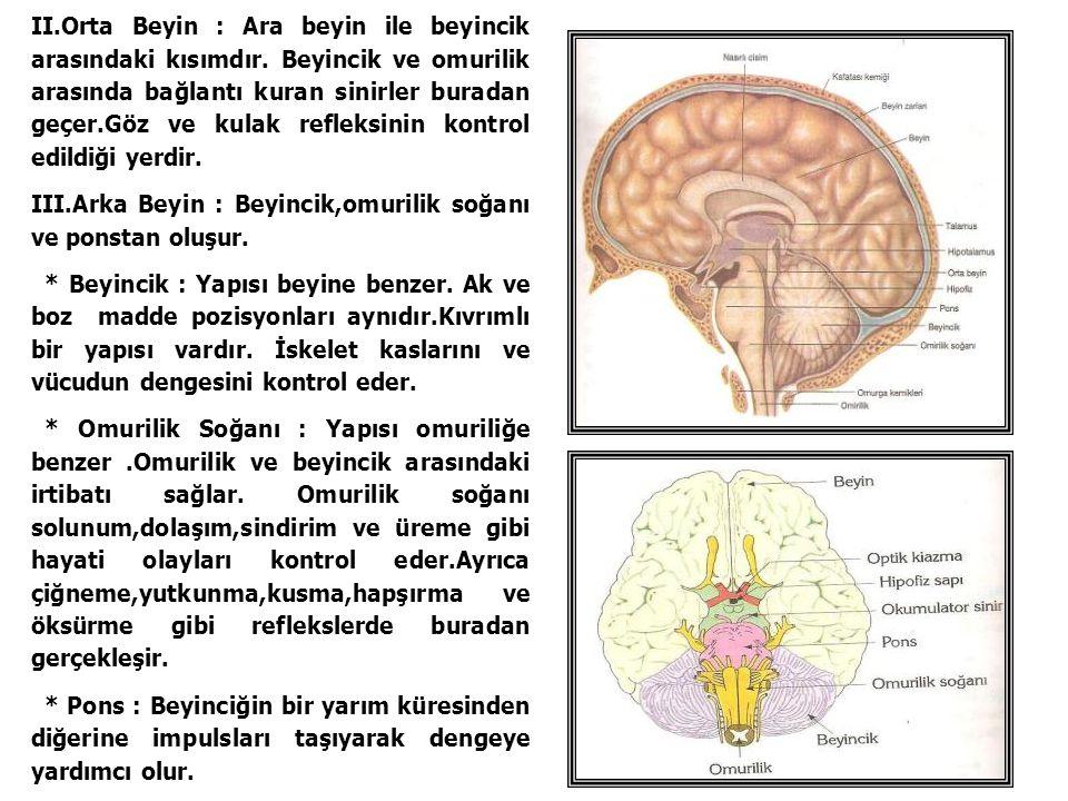 II.Orta Beyin : Ara beyin ile beyincik arasındaki kısımdır. Beyincik ve omurilik arasında bağlantı kuran sinirler buradan geçer.Göz ve kulak refleksin