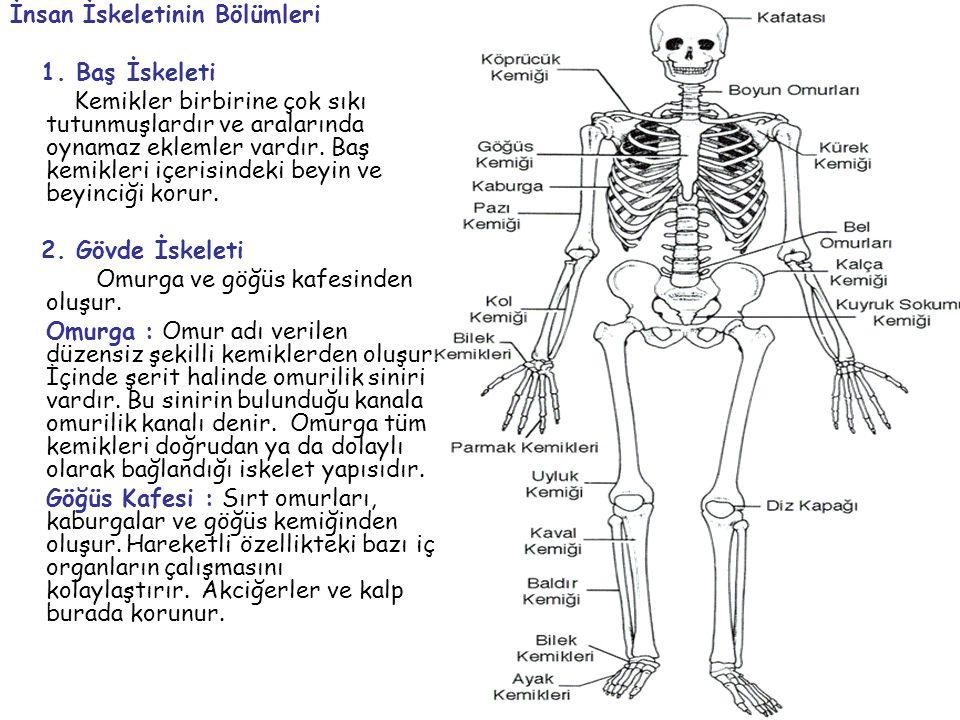 İnsan İskeletinin Bölümleri 1. Baş İskeleti Kemikler birbirine çok sıkı tutunmuşlardır ve aralarında oynamaz eklemler vardır. Baş kemikleri içerisinde