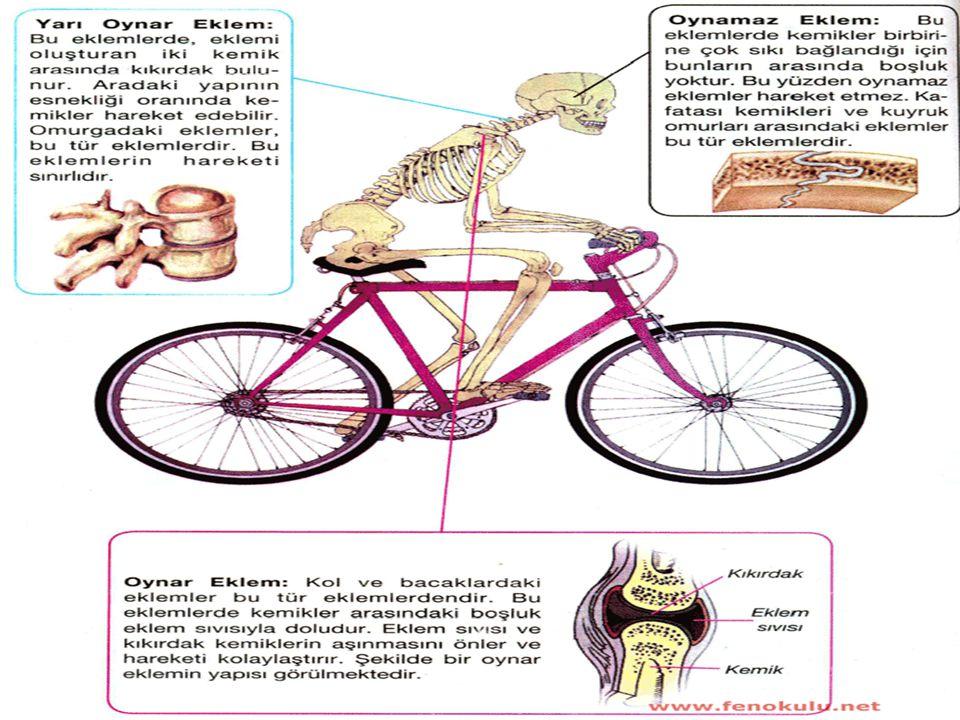 Kemiklerin bir araya geldiği yere eklem adı verilir. Aşağıdaki iskelet resmi üzerinde eklemin yapısını ve çeşitlerini inceleyelim. Eklem Çeşitleri ve