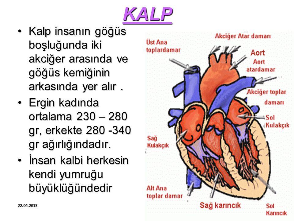 22.04.2015 KALP Kalp insanın göğüs boşluğunda iki akciğer arasında ve göğüs kemiğinin arkasında yer alır.Kalp insanın göğüs boşluğunda iki akciğer ara
