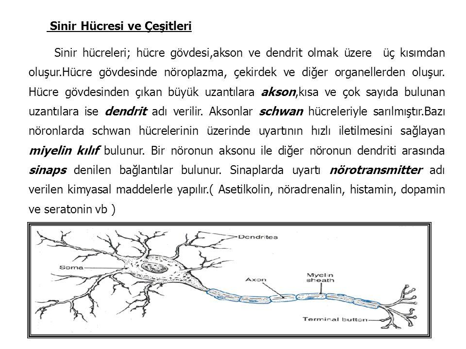 Sinir Hücresi ve Çeşitleri Sinir hücreleri; hücre gövdesi,akson ve dendrit olmak üzere üç kısımdan oluşur.Hücre gövdesinde nöroplazma, çekirdek ve diğ