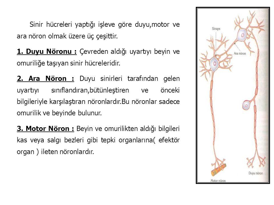 Sinir hücreleri yaptığı işleve göre duyu,motor ve ara nöron olmak üzere üç çeşittir. 1. Duyu Nöronu : Çevreden aldığı uyartıyı beyin ve omuriliğe taşı