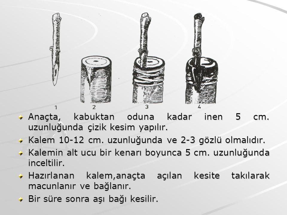 Anaçta, kabuktan oduna kadar inen 5 cm. uzunluğunda çizik kesim yapılır. Kalem 10-12 cm. uzunluğunda ve 2-3 gözlü olmalıdır. Kalemin alt ucu bir kenar