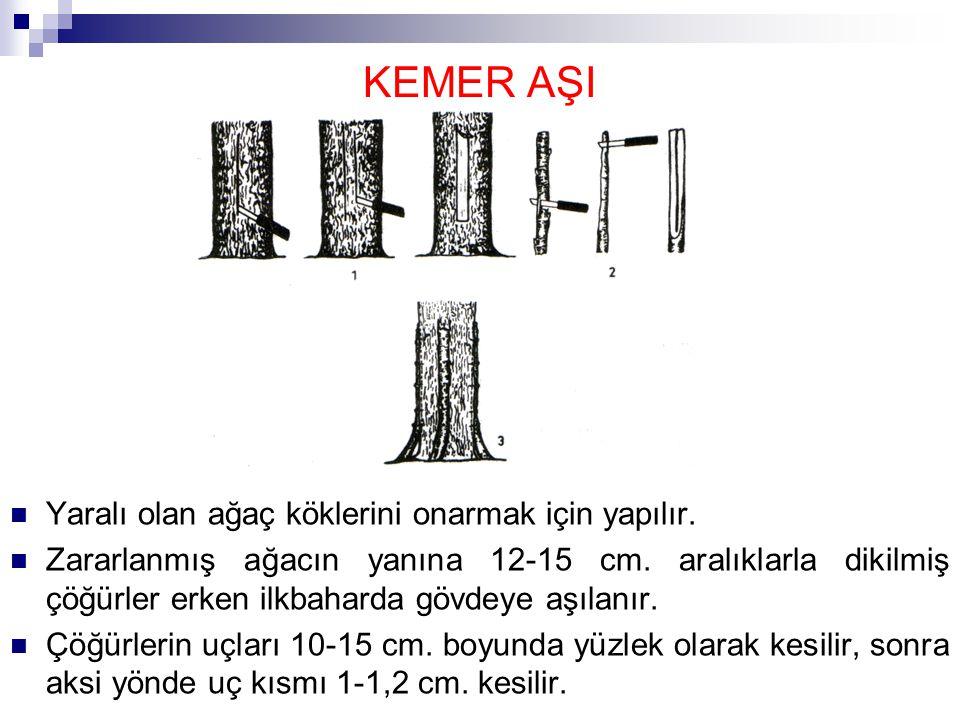 KEMER AŞI Yaralı olan ağaç köklerini onarmak için yapılır. Zararlanmış ağacın yanına 12-15 cm. aralıklarla dikilmiş çöğürler erken ilkbaharda gövdeye