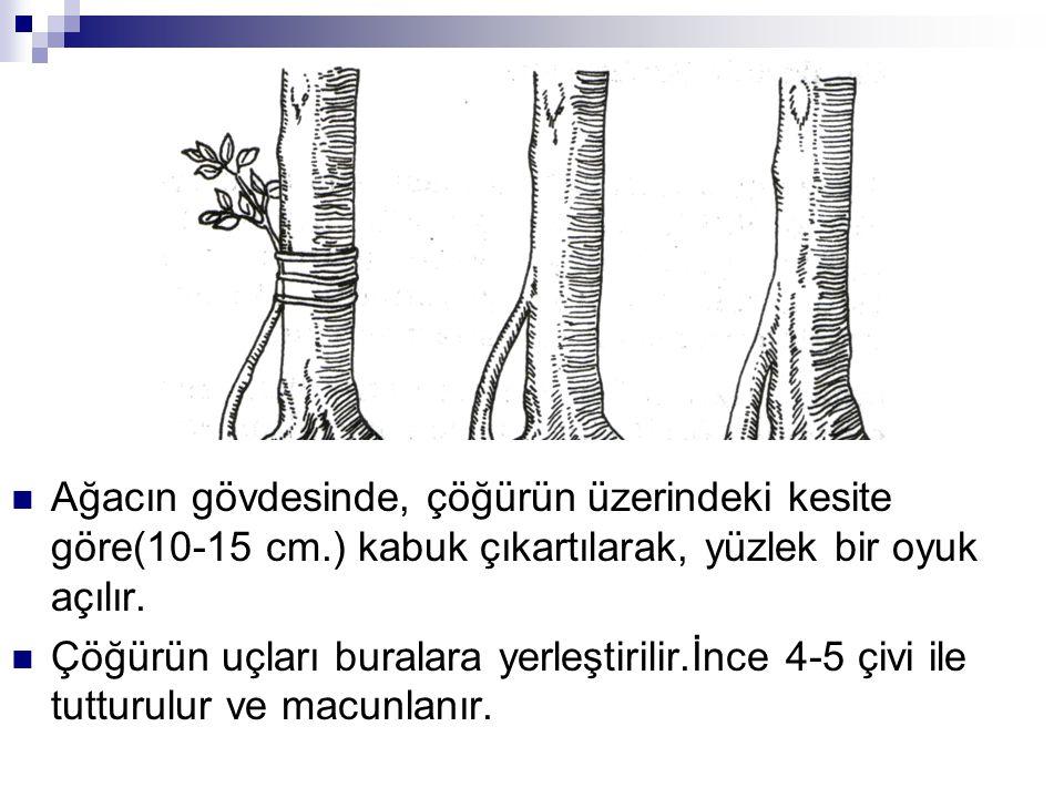 Ağacın gövdesinde, çöğürün üzerindeki kesite göre(10-15 cm.) kabuk çıkartılarak, yüzlek bir oyuk açılır. Çöğürün uçları buralara yerleştirilir.İnce 4-