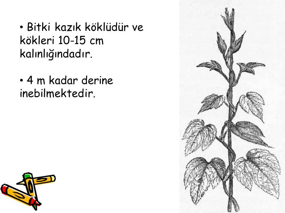 Bitki kazık köklüdür ve kökleri 10-15 cm kalınlığındadır. 4 m kadar derine inebilmektedir.