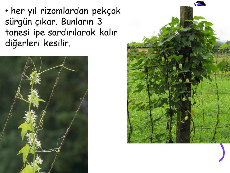 her yıl rizomlardan pekçok sürgün çıkar. Bunların 3 tanesi ipe sardırılarak kalır diğerleri kesilir.