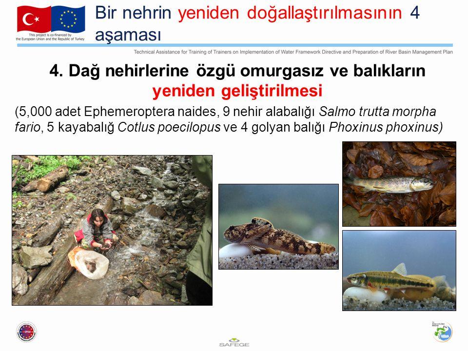Bir nehrin yeniden doğallaştırılmasının 4 aşaması 4. Dağ nehirlerine özgü omurgasız ve balıkların yeniden geliştirilmesi (5,000 adet Ephemeroptera nai