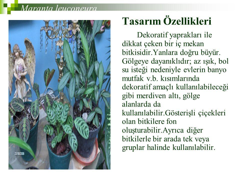 Tasarım Özellikleri Dekoratif yaprakları ile dikkat çeken bir iç mekan bitkisidir.Yanlara doğru büyür.