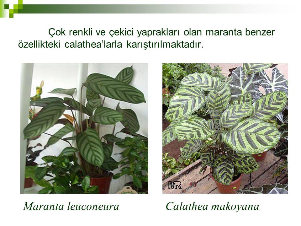 Çok renkli ve çekici yaprakları olan maranta benzer özellikteki calathea'larla karıştırılmaktadır.