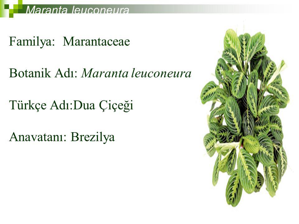 Familya: Marantaceae Botanik Adı: Maranta leuconeura Türkçe Adı:Dua Çiçeği Anavatanı: Brezilya Maranta leuconeura