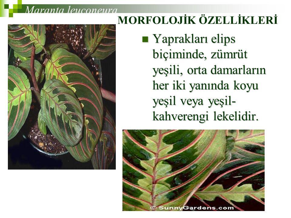 Yaprakları elips biçiminde, zümrüt yeşili, orta damarların her iki yanında koyu yeşil veya yeşil- kahverengi lekelidir.