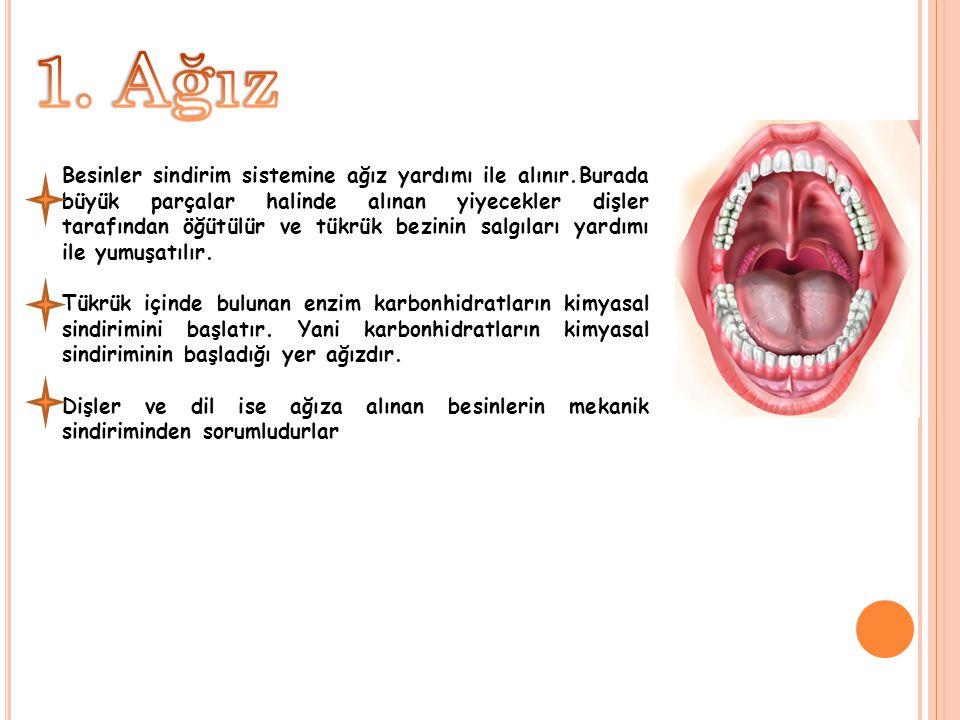 Besinler sindirim sistemine ağız yardımı ile alınır.Burada büyük parçalar halinde alınan yiyecekler dişler tarafından öğütülür ve tükrük bezinin salgı