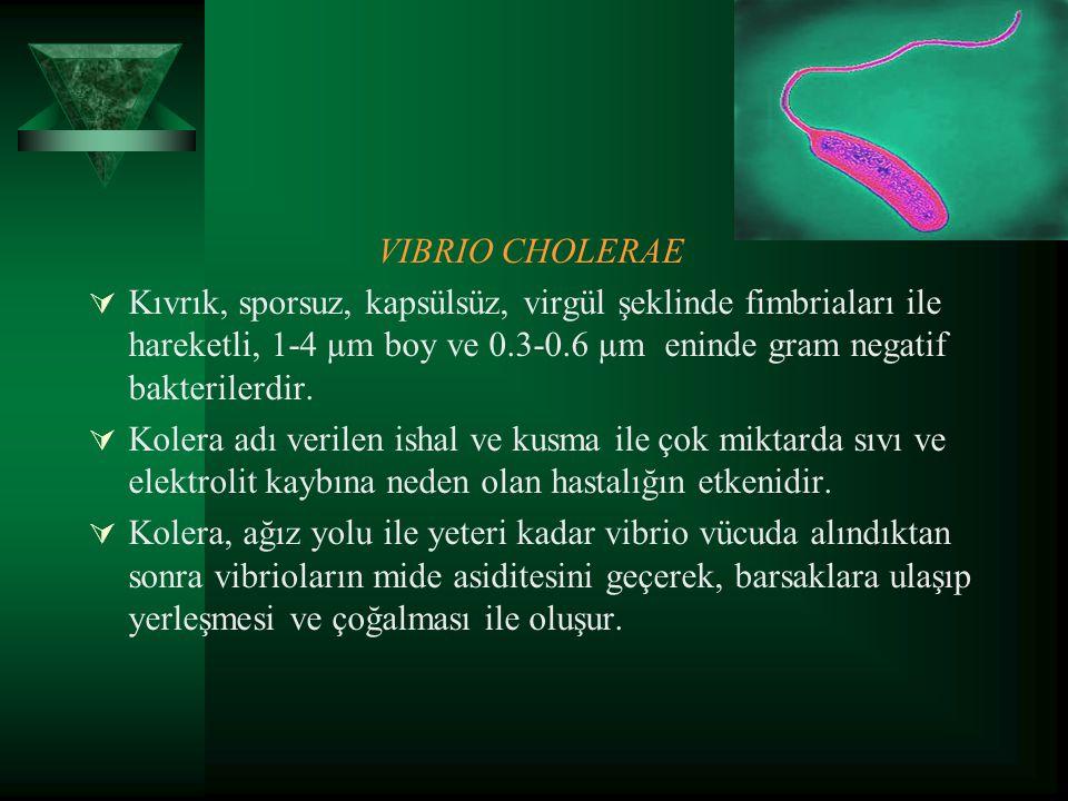 VIBRIO CHOLERAE  Kıvrık, sporsuz, kapsülsüz, virgül şeklinde fimbriaları ile hareketli, 1-4 µm boy ve 0.3-0.6 µm eninde gram negatif bakterilerdir. 
