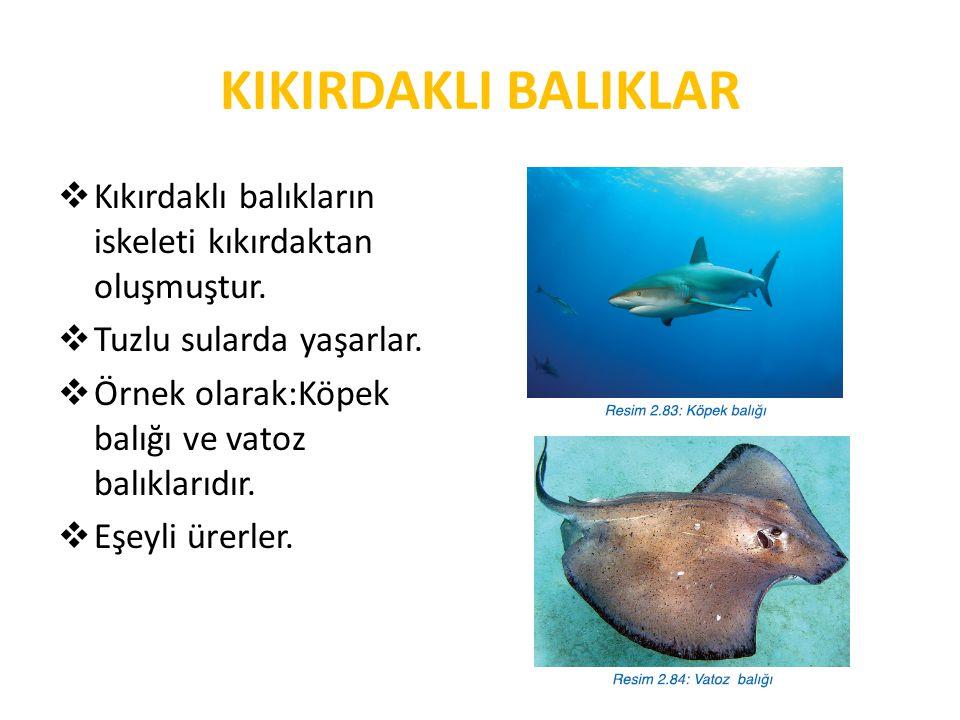 KIKIRDAKLI BALIKLAR  Kıkırdaklı balıkların iskeleti kıkırdaktan oluşmuştur.  Tuzlu sularda yaşarlar.  Örnek olarak:Köpek balığı ve vatoz balıklarıd
