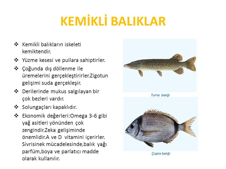 KEMİKLİ BALIKLAR  Kemikli balıkların iskeleti kemiktendir.  Yüzme kesesi ve pullara sahiptirler.  Çoğunda dış döllenme ile üremelerini gerçekleştir