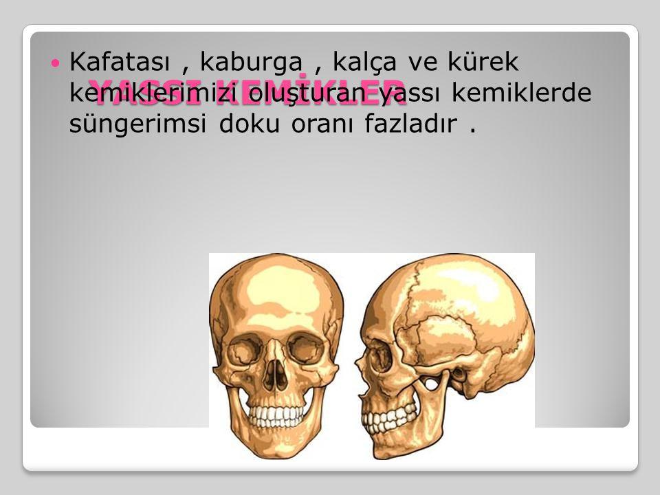 YASSI KEMİKLER Kafatası, kaburga, kalça ve kürek kemiklerimizi oluşturan yassı kemiklerde süngerimsi doku oranı fazladır.