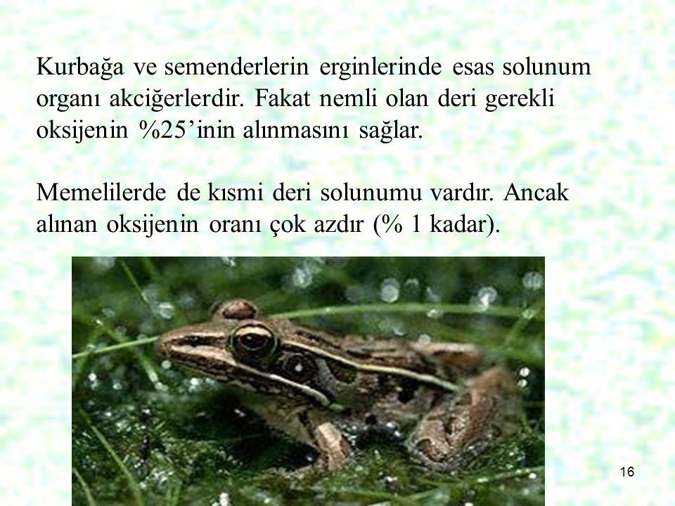 16 Kurbağa ve semenderlerin erginlerinde esas solunum organı akciğerlerdir. Fakat nemli olan deri gerekli oksijenin %25'inin alınmasını sağlar. Memeli