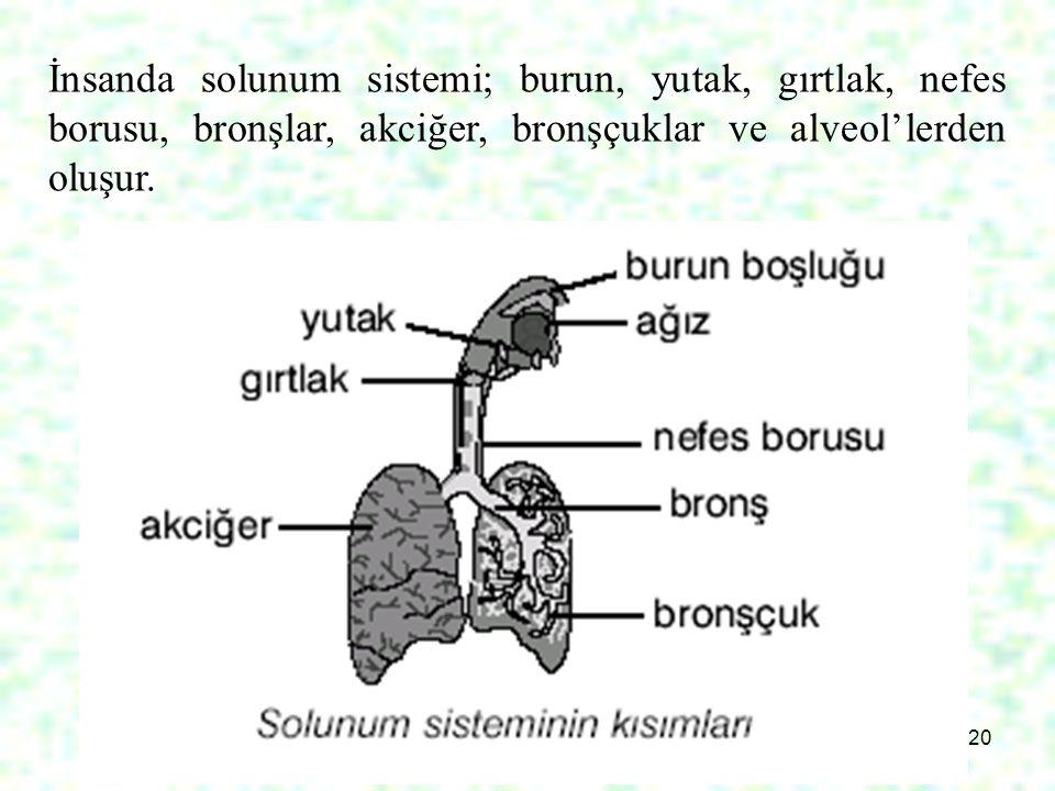 20 İnsanda solunum sistemi; burun, yutak, gırtlak, nefes borusu, bronşlar, akciğer, bronşçuklar ve alveol'lerden oluşur.