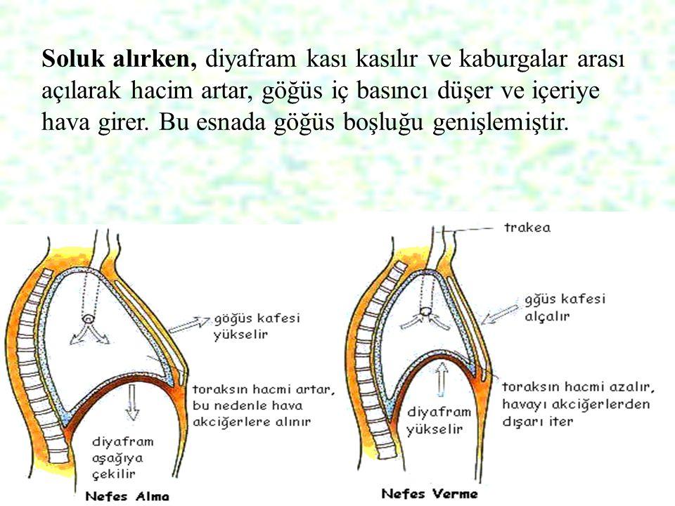 28 Soluk alırken, diyafram kası kasılır ve kaburgalar arası açılarak hacim artar, göğüs iç basıncı düşer ve içeriye hava girer. Bu esnada göğüs boşluğ
