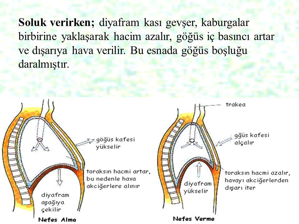29 Soluk verirken; diyafram kası gevşer, kaburgalar birbirine yaklaşarak hacim azalır, göğüs iç basıncı artar ve dışarıya hava verilir. Bu esnada göğü